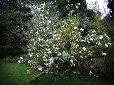 Photo of apple tree in blossom