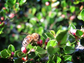 bee-cotoneaster-270516-b