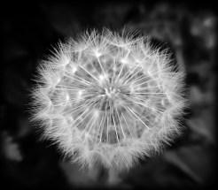 dandelion-bw-holga