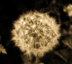 dandelion-glow-fall