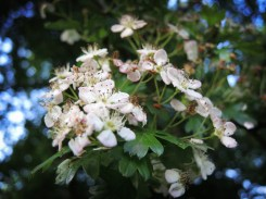 Photo of hawthorn blossom