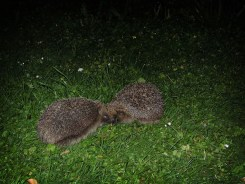 Photo of two hedgehogs