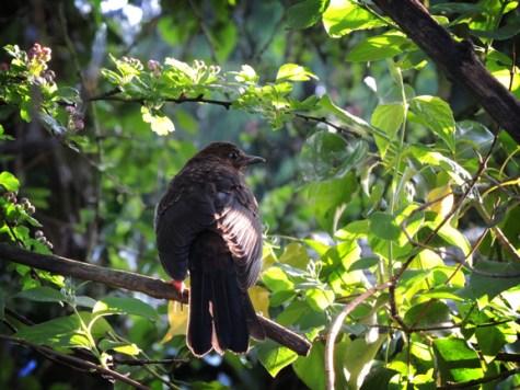 Photo of young blackbird