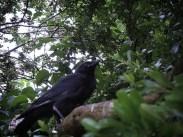 crow-130616