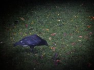 crow-grunge-150616