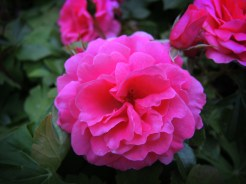 pink-roses-090616