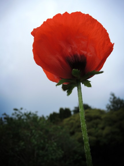 poppy-040616-a