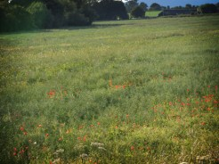 Photo of field with poppies
