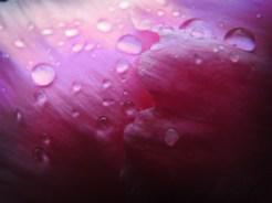 Photo of raindrops on peony petals