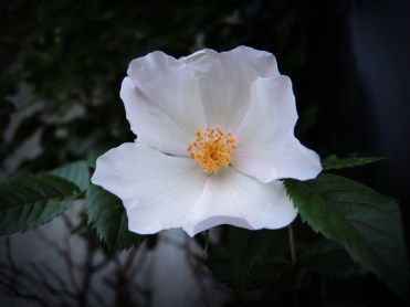 rambling-rose-070616