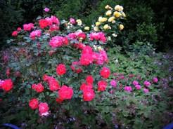 rose-garden-090616