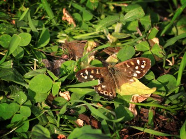 Photo of speckled wood butterfly