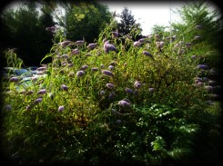 Photo of buddleia by carpark