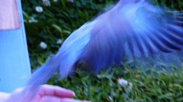 dove-flight-3b