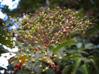 elder-green-berries