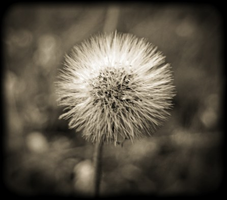 Photo of fluffy seed head