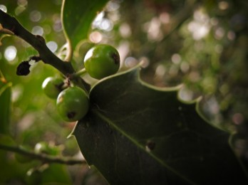 holly-green-berries
