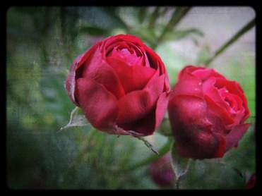 red-rose-grunge