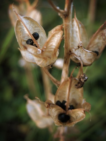 Photo of grape hyacinth seeds heads