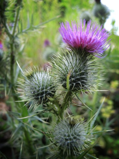 thistle-flowers