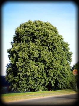 Photo of horse chestnut tree