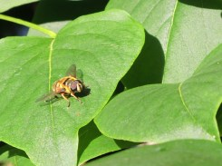 Photo of hoverfly