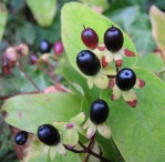 Photo of black St John's Wort berries
