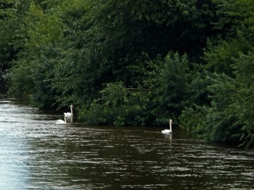 Photo of swans on river
