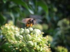 Photo of bee landing on ivy