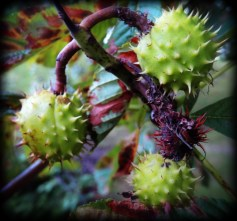 Photo of conkers
