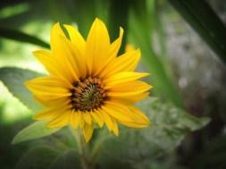 Photo of dwarf sunflower