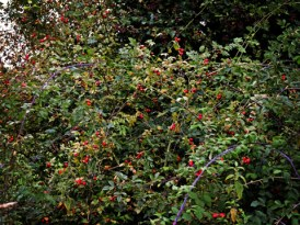 Photo of rose hips and sloes
