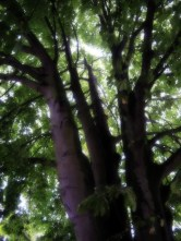 Photo of horse chestnut tree
