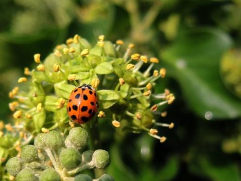 ladybird-ivy-sept-16-b