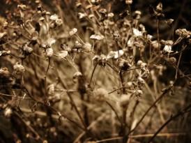 Photo of ragwort seeded