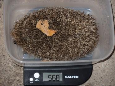 568g-hedgehog