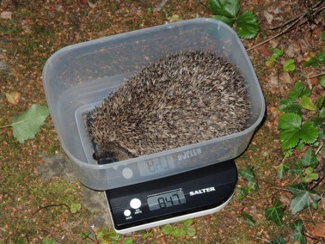 Photo of hedgehog being weighed
