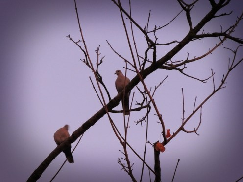 Photo of collared doves at dawn