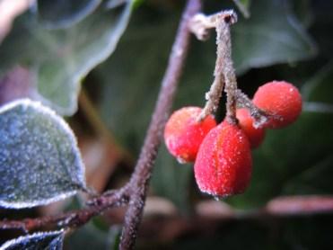 frosty-berries-dec-16