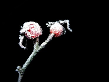 Photo of frosty rose hips