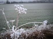 frosty-seed-head-2