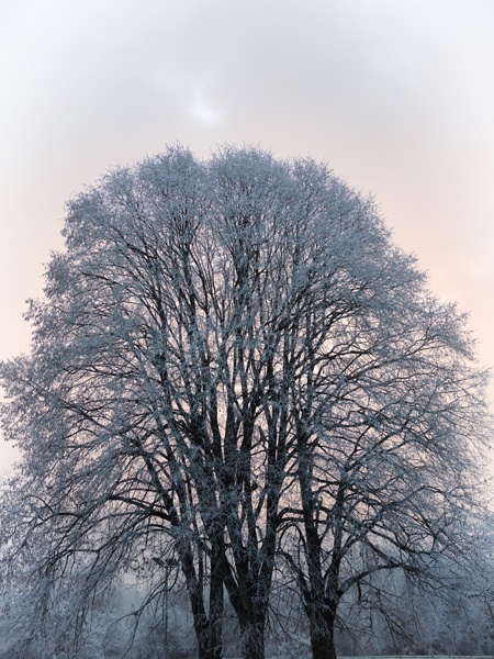 frosty-trees-5