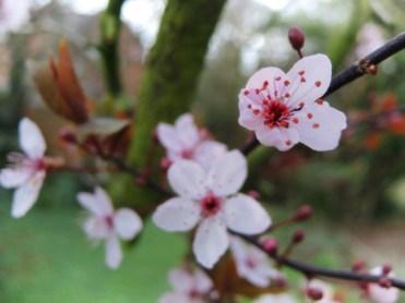 cherry-plum-110317