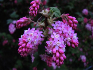 flowering-currant-150317
