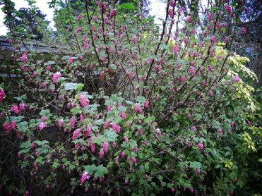 flowering-currant-bush-110317