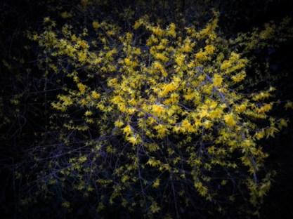 forsythia-bush-110317