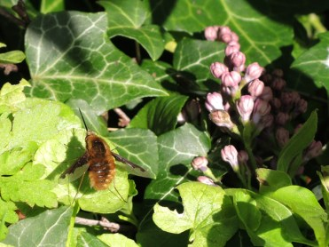 bee-fly-060417-a