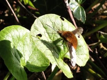 bee-fly-060417-b