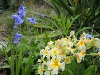bluebells-primroses-200417