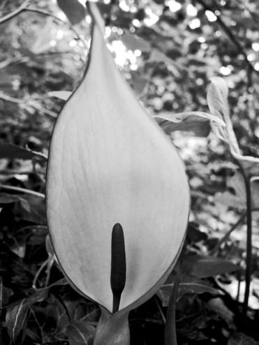 cuckoo-pint-200417-bw